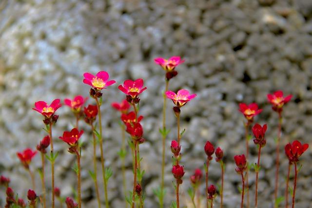 Saxifrage, Saxifraga, Moss Saxifrage, Blossom, Bloom