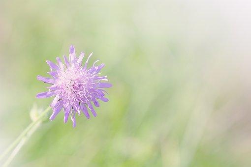 Deaf-skabiose, Scabiosa Columbaria, Caprifoliaceae