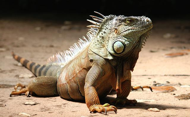 Iguana, Reptile, Lizard, Animal, Dragon, Scale, Green