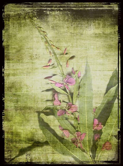 Fireweed, Pink, Scanned Original Flower, Garden, Framed
