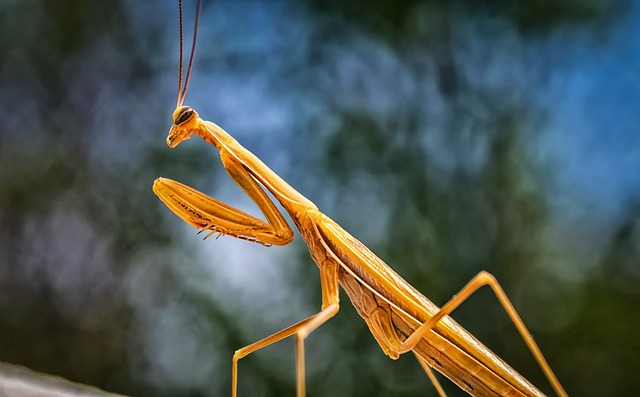 Praying Mantis, Insect, Scare, Flight Insect, Animal