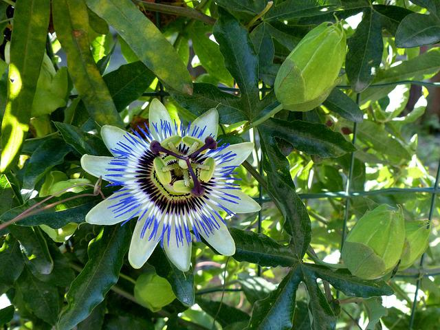 Passion Fruit, Blossom, Bloom, Stamens, Scars