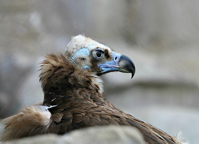 Vulture, Bird, Scavenger, Orderly, Beak, Formidable