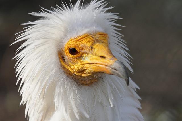 Animals, Bird, Raptor, Egyptian Vulture, Scavengers
