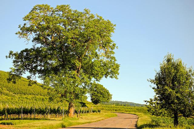 Tree, Walnut, Landscape, View, Vines, Scenic