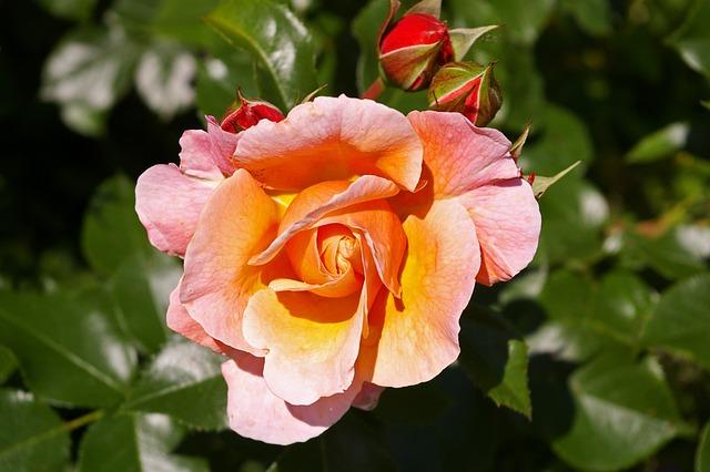 Rose, Pink Rose, Scented Rose, Rose Garden, Blossom
