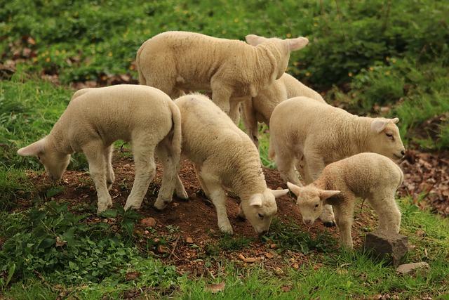 Lamb, Sheep, Animal, Cute, Schäfchen, Wool