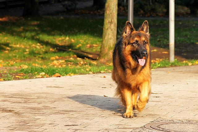 Dog, Schäfer Dog, Animal, Old German Shepherd Dog, Pet