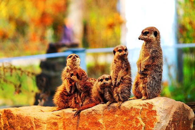 Meerkat, Meercat, Scharrtier, Species Of Mammal