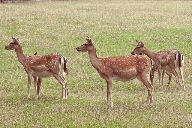 Deer, Fallow Deer, Meadow, Glade, Wild, Animal, Scheu