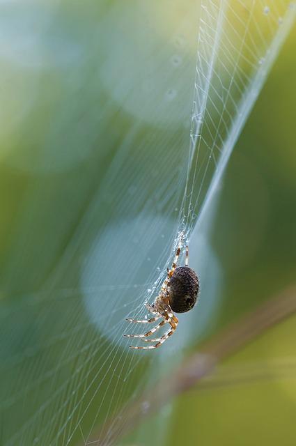 Schilfradspinne, Spider, Larinioides Cornutus, Arachnid
