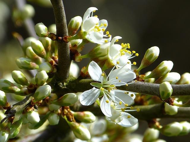 Schlehe, Blackthorn, Prunus Spinosa, Schlehendorn