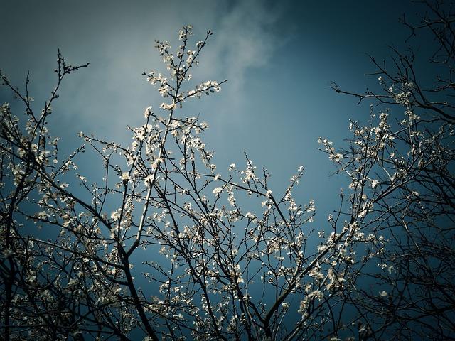 Schlehe, Sloe Bush, Blossom, Bloom, Bloom, Spring