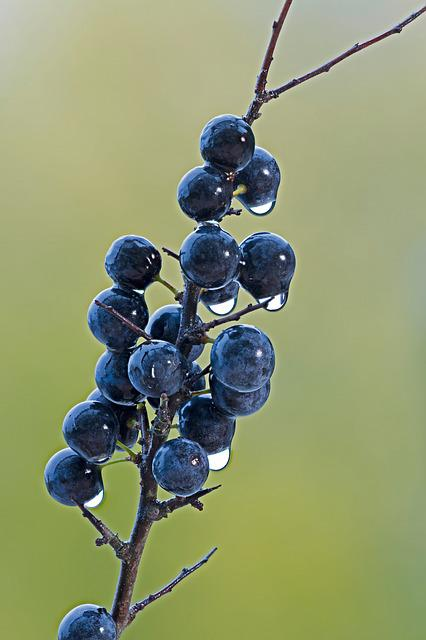 Blackthorn, Berry, Wet, Rainy Weather, Fruit, Schlehe