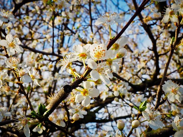 Flower, Schlehe, Spring, Schlehendorn, Flowers, Bloom