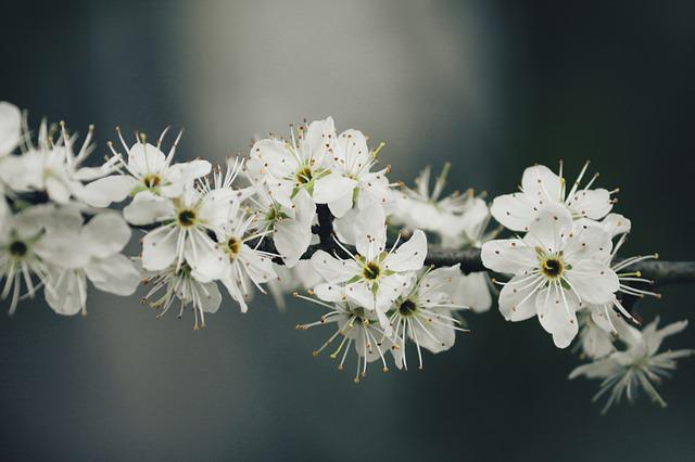 Blackthorn, Sloes, Black Thorn Flower, Schlehendorn