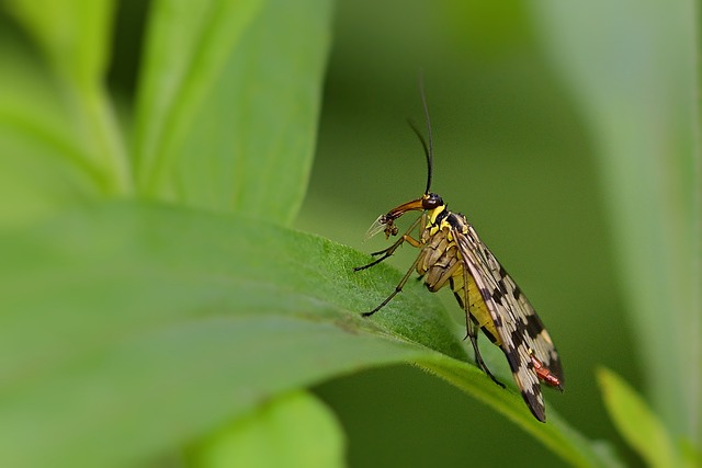 Insect, Communis, Female, Schnabelfliege, Probe, Leaf