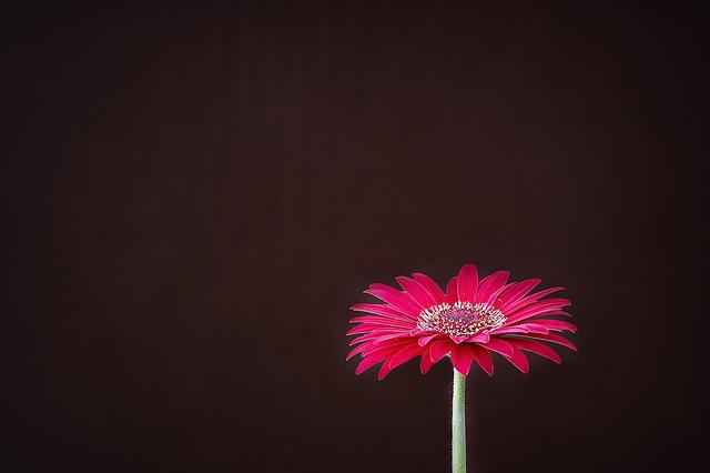 Gerbera, Flower, Blossom, Bloom, Red, Schnittblume