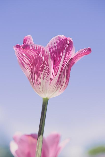 Tulip, Pink, Tulip Pink, Spring Flower, Schnittblume
