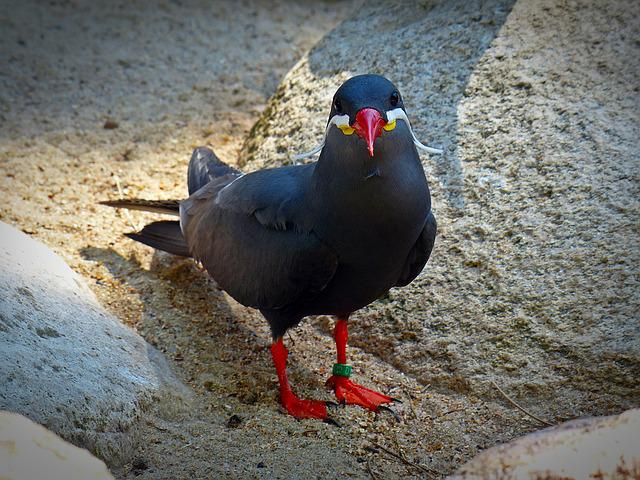 Inca Tern, Schwalbe, Bird, Animal, Water Bird