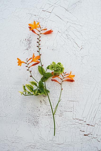 Crocosmia, Schwertliliengewaechs, Ornamental Plant