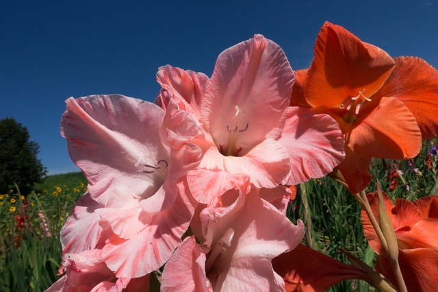 Gladiolus, Sword Flower, Schwertliliengewaechs, Pink