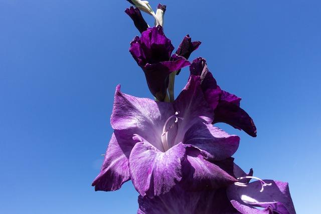 Gladiolus, Sword Flower, Schwertliliengewaechs, Violet