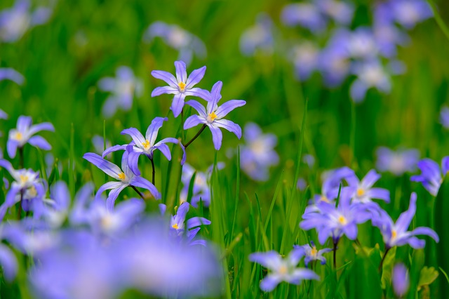Starflower, Blue Star, Scilla, Blue, Violet, Spring