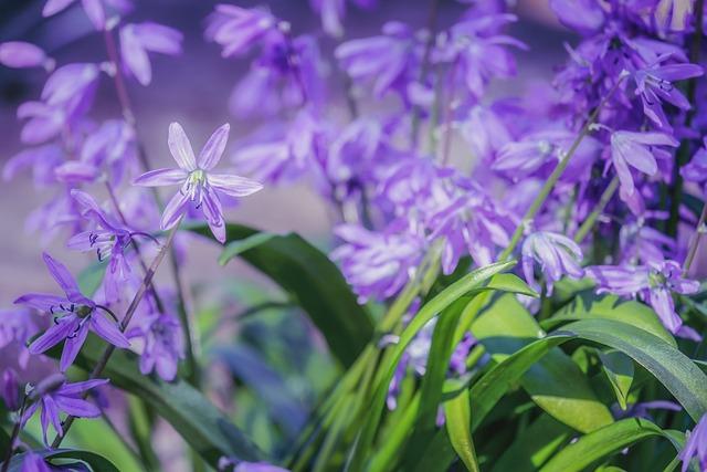 Blue Star, Scilla, Flowers, Bloom, Spring