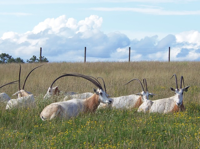 Oryx, Scimitar-horned Oryx, The Wilds, Endangered