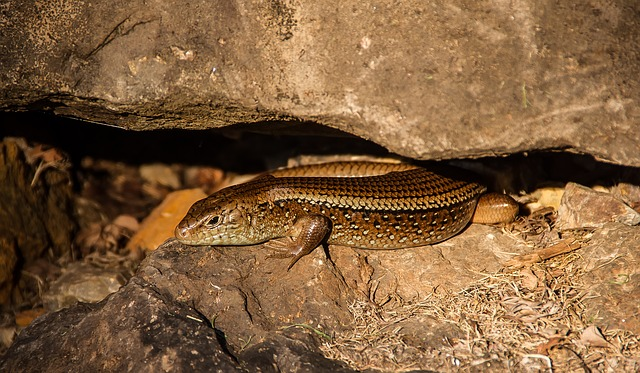 Skink, Lizard, Reptile, Scincoides, Scales, Shiny