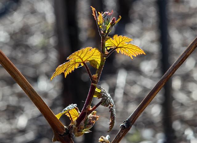 Nature, Flora, Tree, Plant, Wine, Vine, Scion, Engine