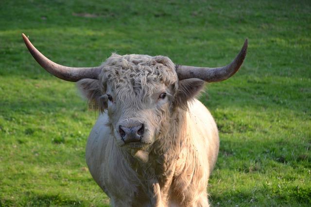 Highland Beef, Pasture, Scottish Highland Cow