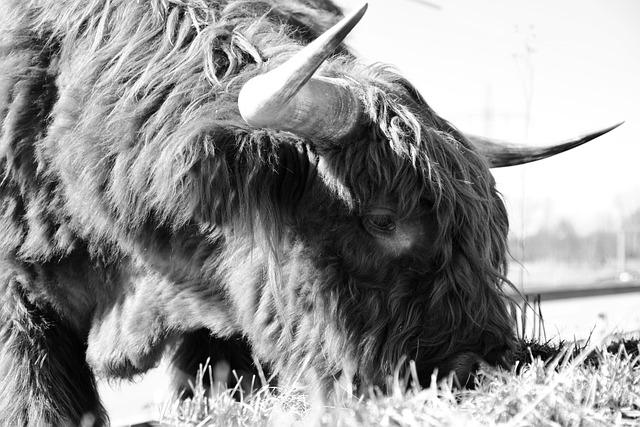 Beef, Highland Beef, Scottish Hochlandrind, Horns