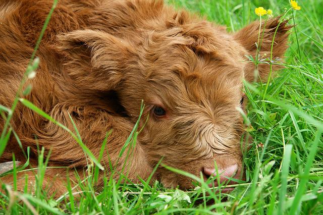 Highland Beef, Calf, Scottish Hochlandrind, Cow, Shaggy