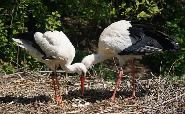 Stork, Scrim, White Stork, Rattle Stork, Breed, Control