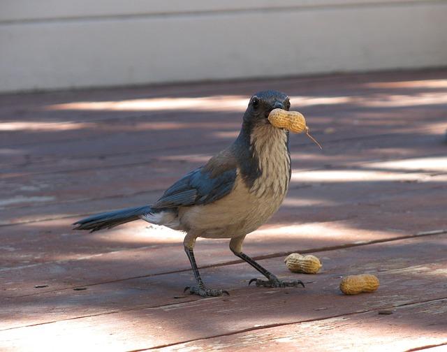 Bird, Blue Jay, Scrub Jay, Peanut, Jay