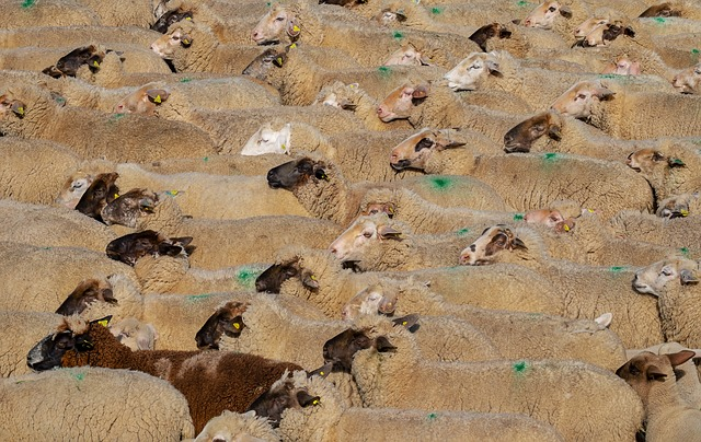 Sheep, Animals, Wool, Flock, Funny, Many, Scrum, Pushed