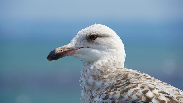 Seagull, Seevogel, Sea, Baltic Sea, Animal Portrait