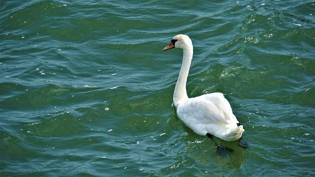 Swan, Bird, Sea, Baltic Sea, Salt Water