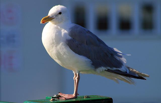 Seagull, Bird, Gull, Sea Bird