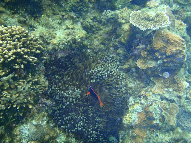 Coral Reefs, Okinawa, Sea, Clownfish, Nemo