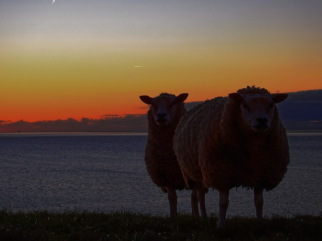 Sheep, Dike, Water, Sea, Lake, North Sea, Friesland