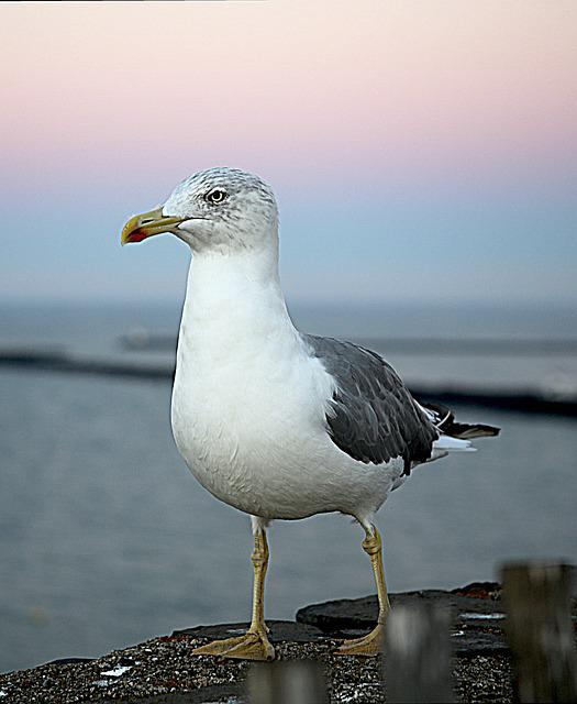 Seagull, Sea ​​bird, Bird, Sea, Feathers, Silver Gull