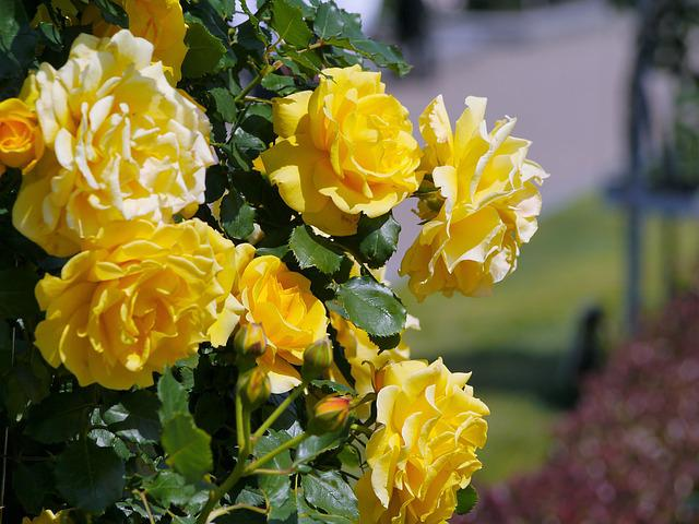 Verny Park, France, Rose, Yellow, Sea, Naval Base
