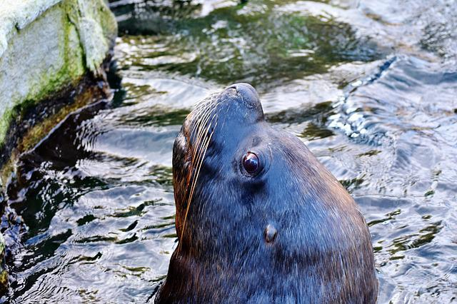 Seal, Sea Lion, Robbe, Mammal, Sea, Meeresbewohner