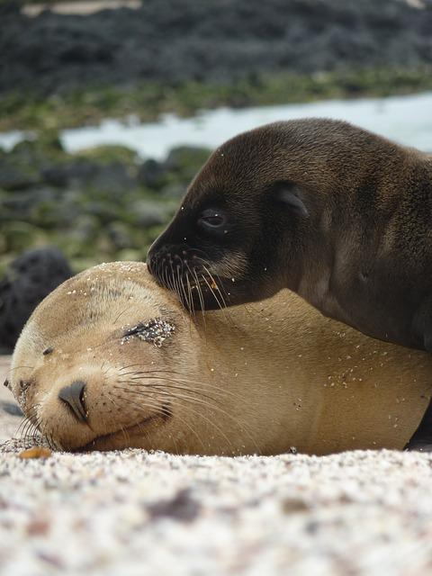 Sea Lions, Seals, Mammals, Marine Life, Mother, Young