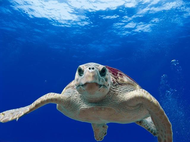 Loggerhead Turtle, Sea, Ocean, Water, Underwater