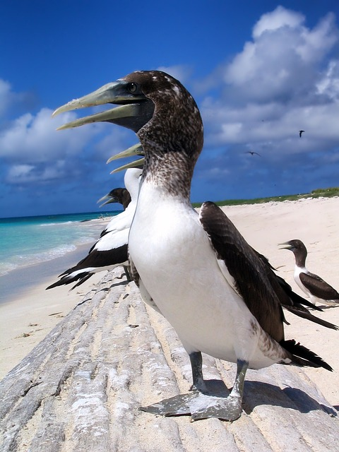 Masked Booby, Bird, Birds, Beach, Sea, Ocean, Water