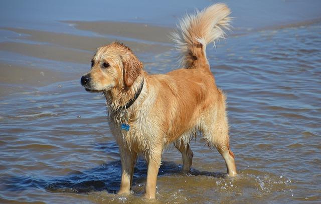 Golden Retriever, Beach, Sea, North Sea, Callantsoog